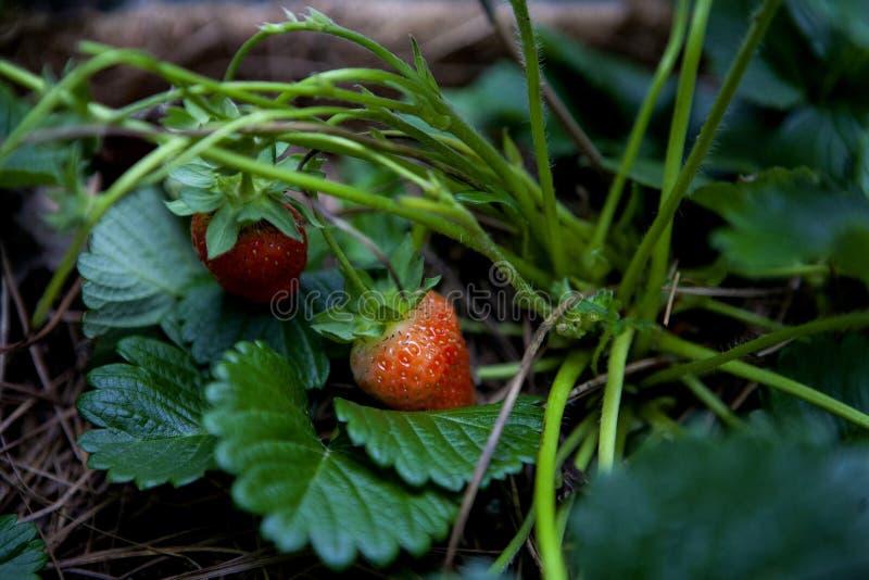 Nestled strawberries stock image