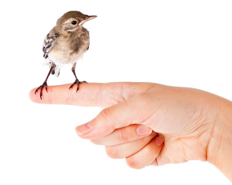 Nestling do pássaro (wagtail) na mão fotografia de stock royalty free
