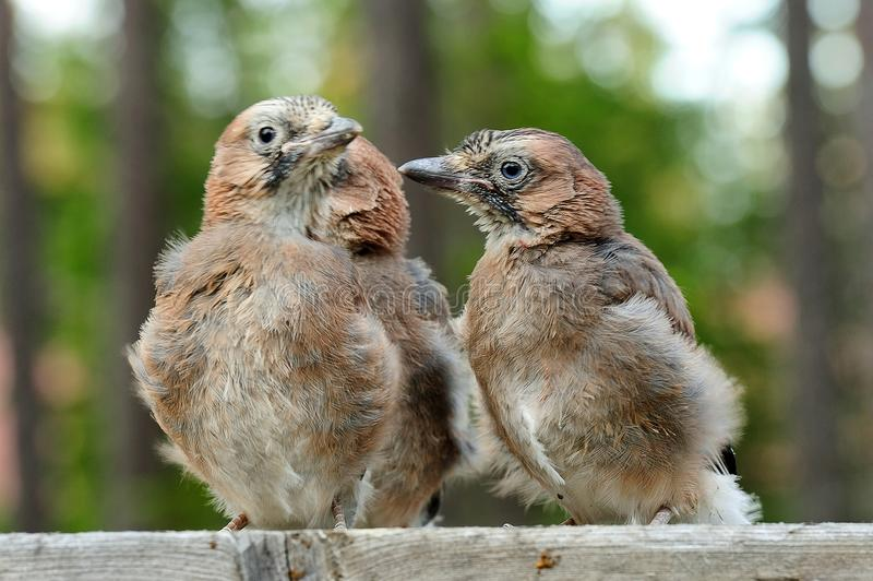 Nestling drei europäischen Eichelhäher Garrulus glandarius lizenzfreie stockfotografie
