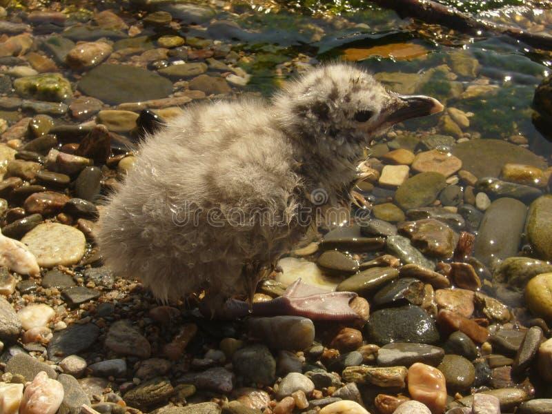 Nestling gulls stock image