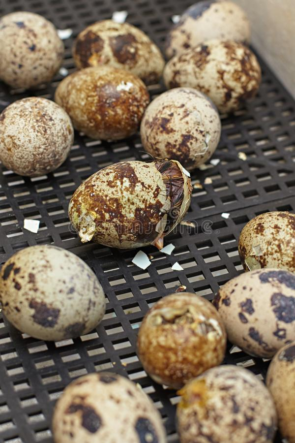 The nestling of the Japanese quail stock photography