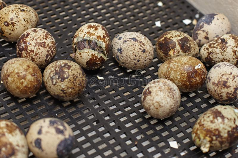 The nestling of the Japanese quail stock photo