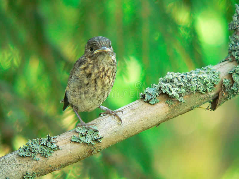The Nestling Of A Pied Flycatcher. Royalty Free Stock Photos