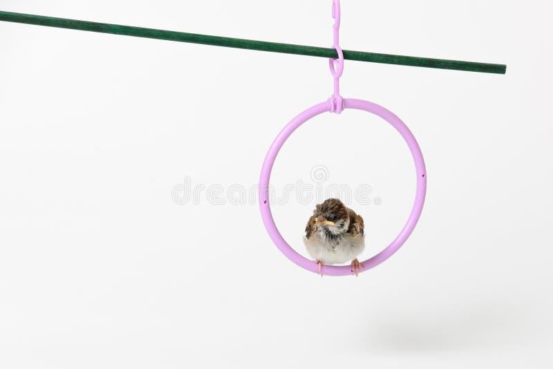 Nestling sparrow, isolated on white background stock photos