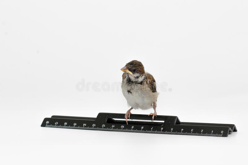 Nestling sparrow with a ruler bowed his head, isolated on white. Nestling sparrow with a ruler looking frightened, isolated on white background royalty free stock image