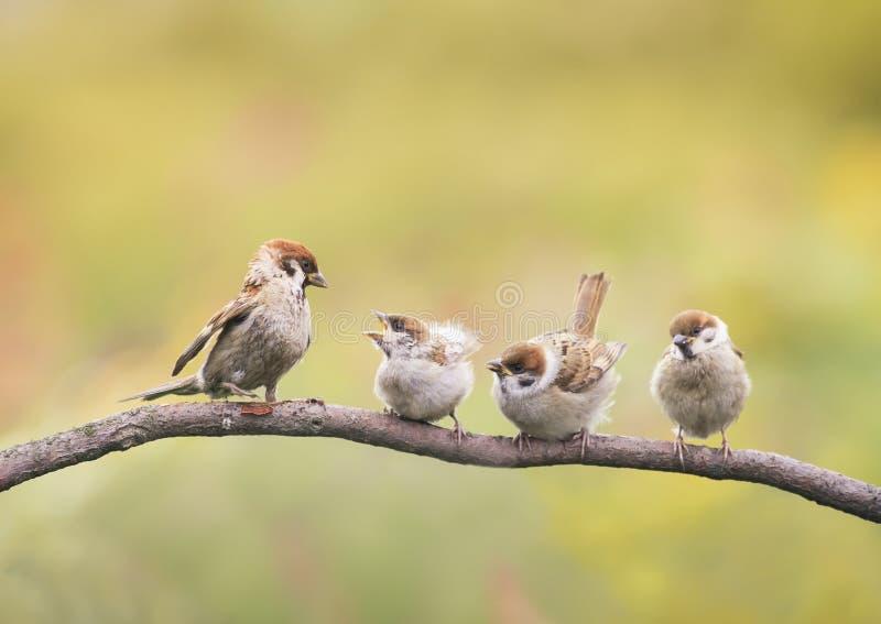 Nestlinge und das Elternteil eines Spatzen, der auf den kleinen Schnäbeln einer Niederlassung gaffend sitzt stockfotografie