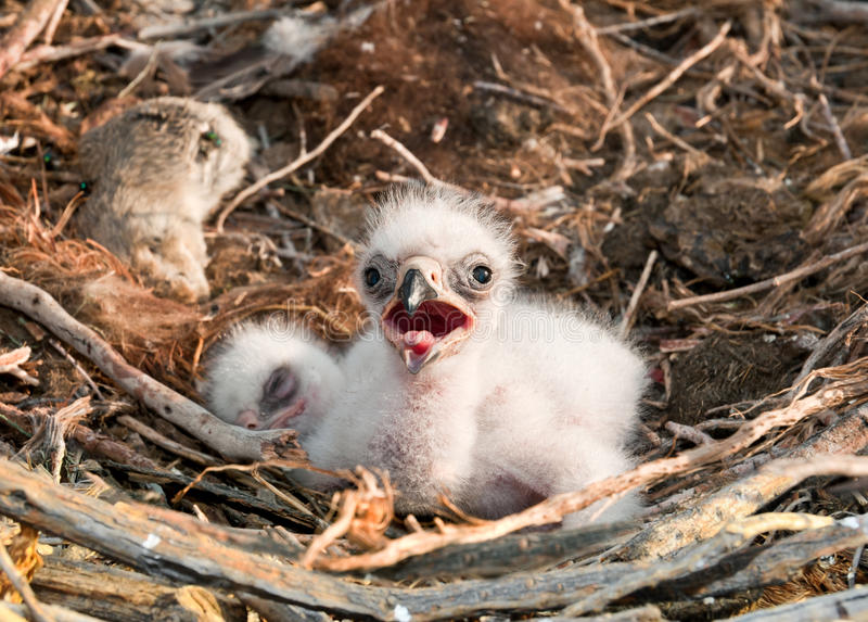 Nestlings Steppe Eagle. Steppe Eagle young chick in the nest. The rare bird Aquila nipalensis of prey protected species royalty free stock photo