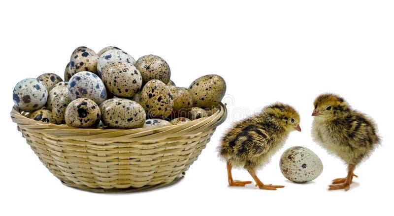 Nestlingswachteln warten auf Geschwister stockfotos