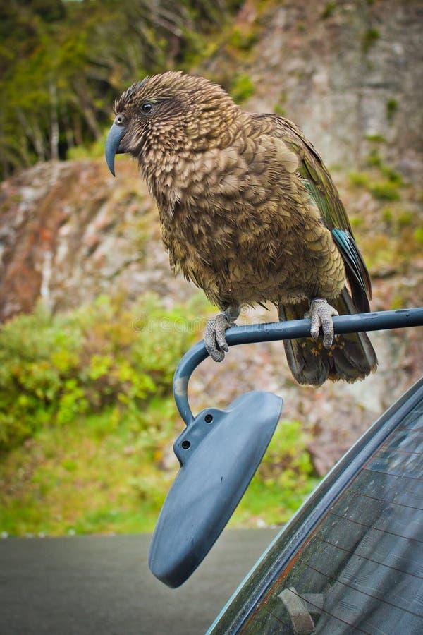 Nestor Kea papuga w Arthurs przepustki parku narodowym, NZ zdjęcie stock