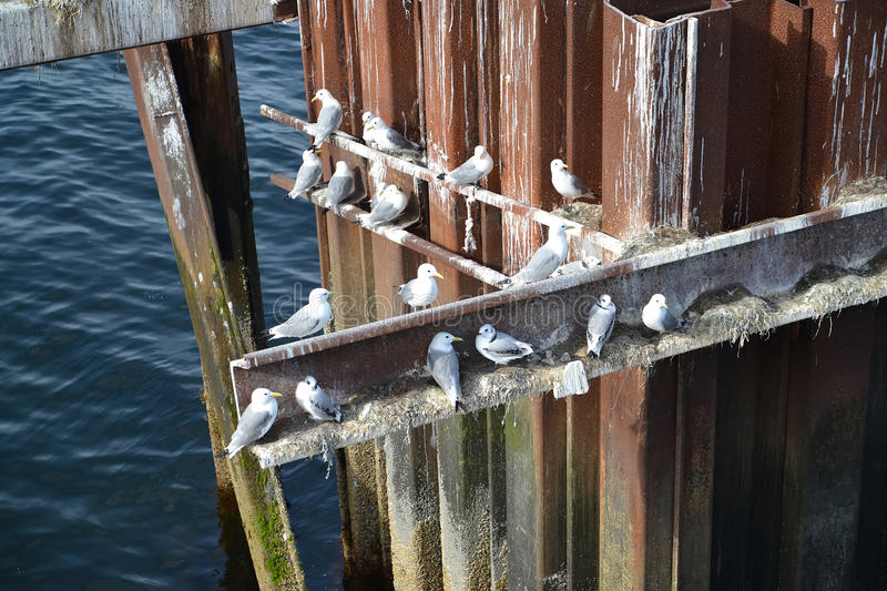 Nests of seagulls on a metal design in the Barents Sea stock photo