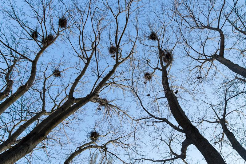 Nests on trees branches in forest against blue sky royalty free stock images