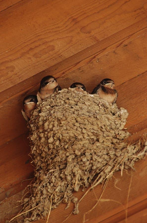 nestvogel in het nest stock fotografie