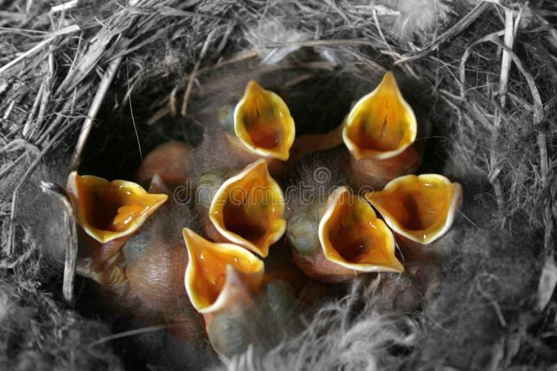 Nestvogels in hefboom royalty-vrije stock afbeelding