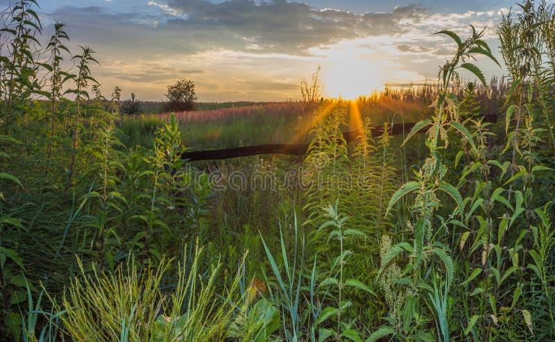 Netelgras in de zon bij zonsondergang royalty-vrije stock foto's