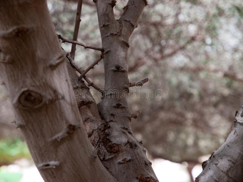 Netelige boom een woestijnhuis voor lokale vogel stock afbeelding