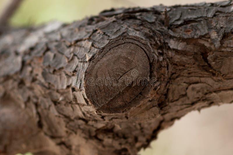 Netelige boom een woestijnhuis voor lokale vogel royalty-vrije stock foto