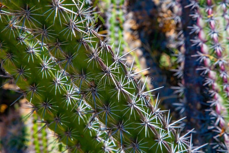 Netelige Cactusstekel royalty-vrije stock foto