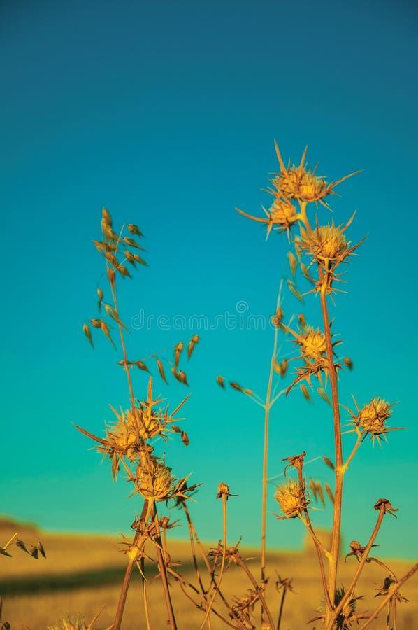 Netelige droge bloemen in een landbouwbedrijf stock afbeeldingen