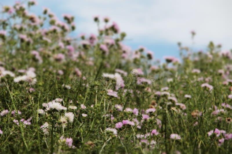 Netelige installaties spontaan in het bloeien stock afbeelding