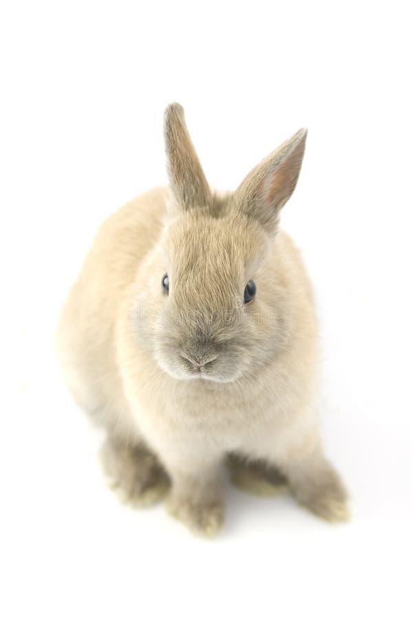 Netherland矮小的兔子的婴孩 免版税库存图片