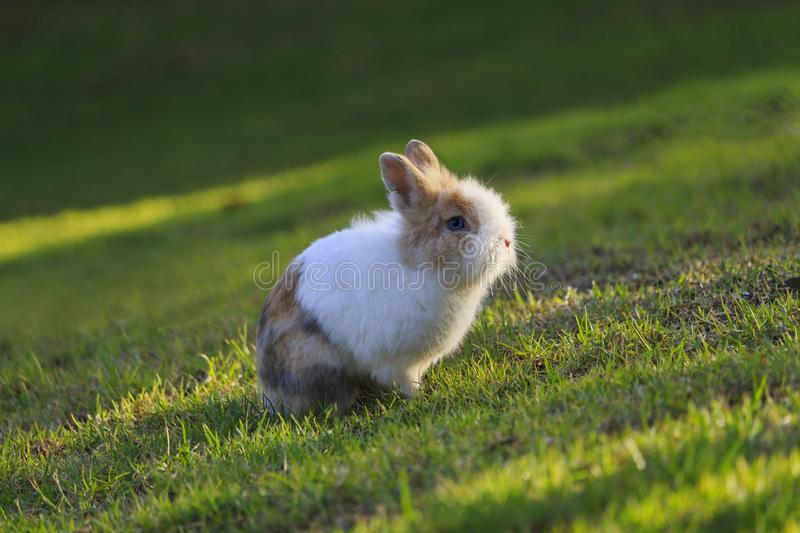 Netherland Dwarf rabbit sitting on grass during a sunset royalty free stock image