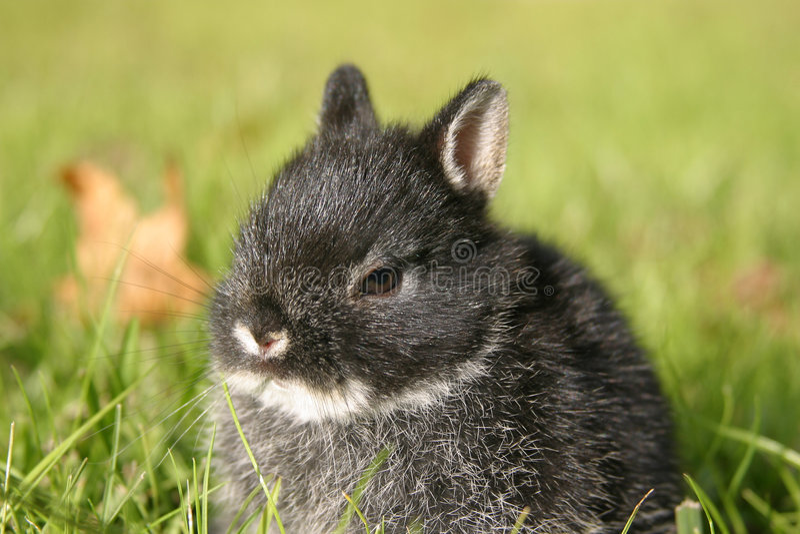Netherland zwergartiges Kaninchen I stockfotos