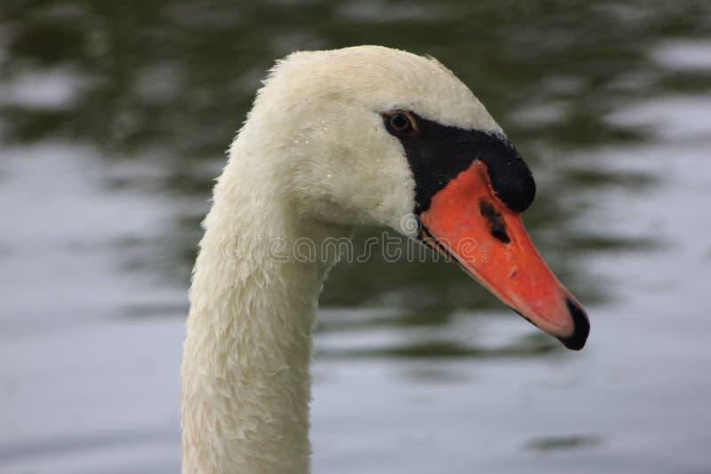 Netherlands evenings. Lake. Swan eye. Netherlands evenings. Swan swims on the lake royalty free stock photos