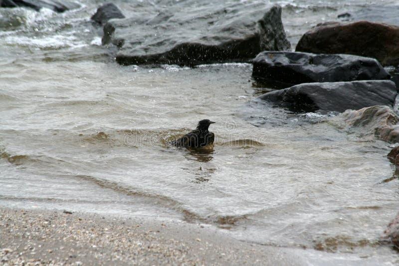 Sparrow bathing in the Ijsselmeer royalty free stock photography