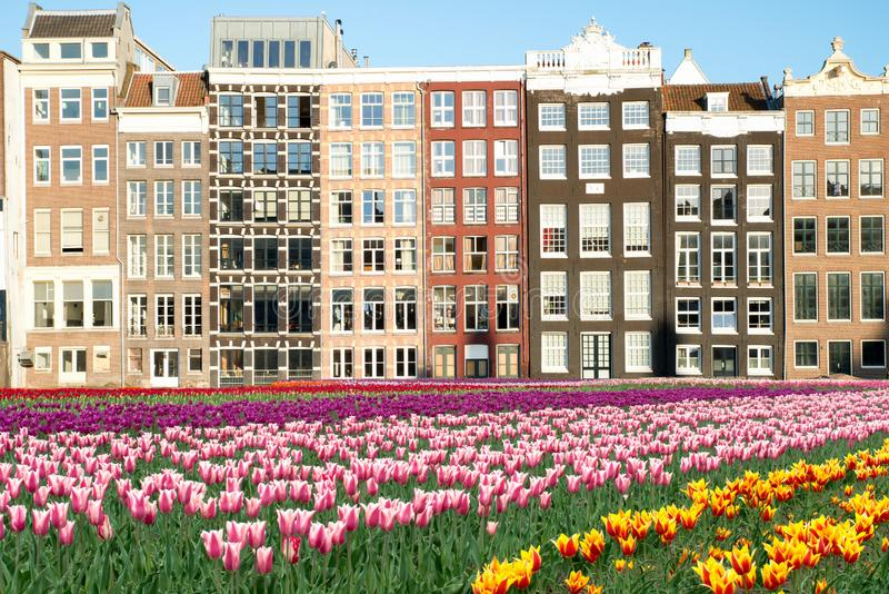 Netherlands tulips and facades of old houses in Amsterdam, Netherlands. Dutch houses with fresh tulip flowers. royalty free stock photography