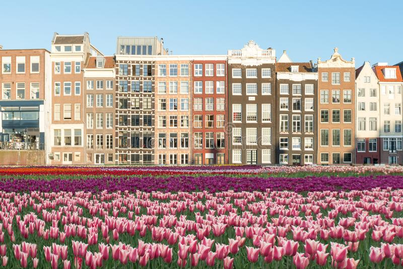 Netherlands tulips and facades of old houses in Amsterdam, Netherlands. Dutch houses with fresh tulip flowers. royalty free stock images