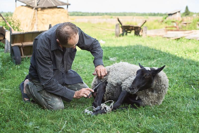 Farmer shearing sheep for wool in the grass outdoors. royalty free stock photos