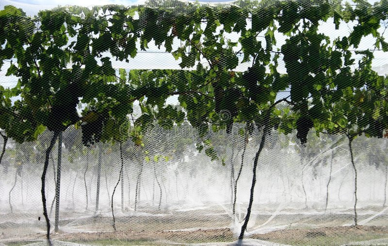 Nets on Grape Vines royalty free stock photos