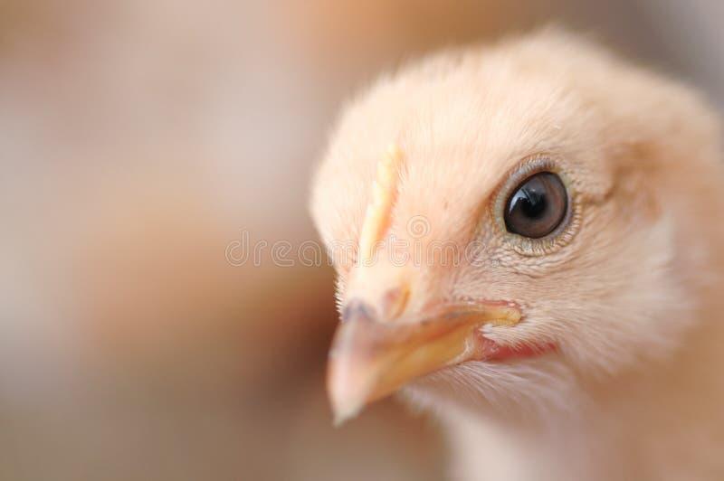 Nett chiken stockbild