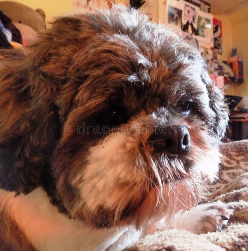 Nett, Hund Shih Tzus /Bichon Frise lizenzfreies stockfoto