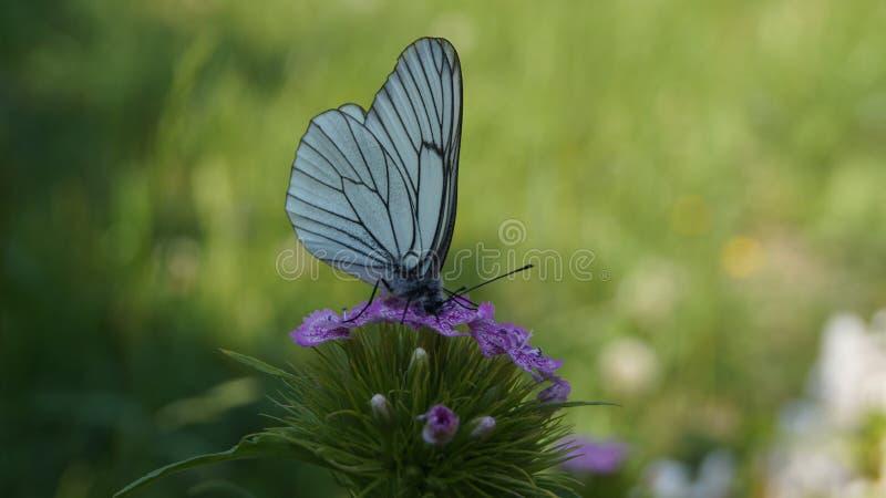 Nettare bevente della farfalla bianca da un fiore dei chiodi di garofano fotografia stock