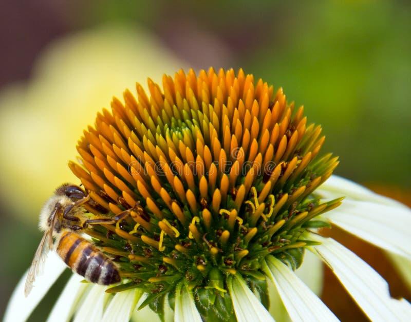Nettare della riunione dell'ape del miele da una margherita fotografie stock