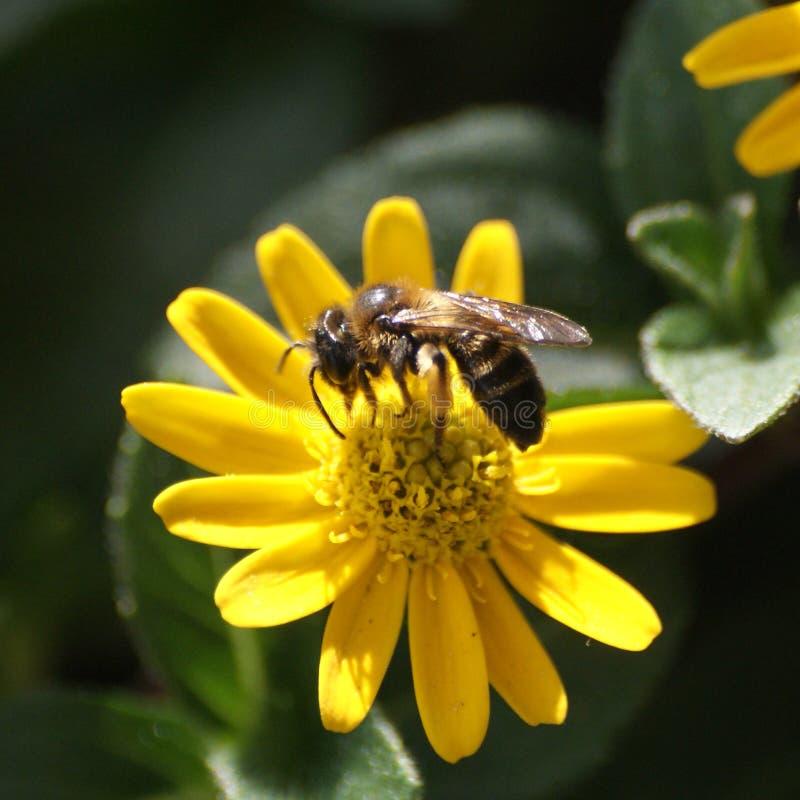 Nettare della riunione dell'ape mellifica fotografie stock