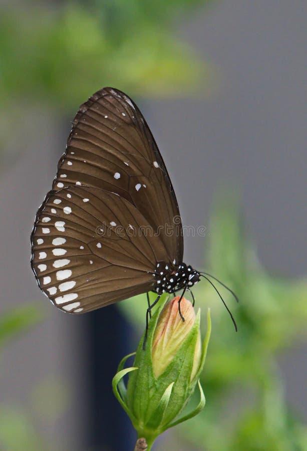 Nettare sorseggiante della bella farfalla nera da un germoglio di fiore chiuso fotografia stock