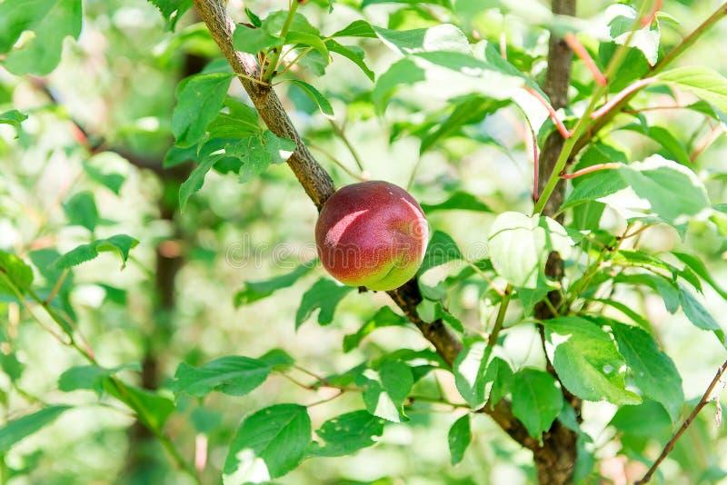 Nettarina succosa dolce su un albero Raccolta della nettarina Giardinaggio fotografia stock libera da diritti