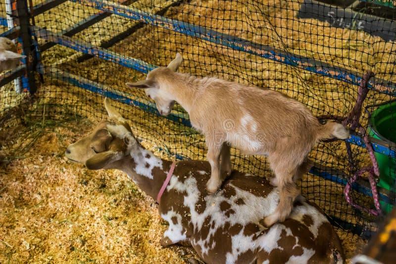 Nette Baby-Ziege, die zurück auf Müttern steht lizenzfreie stockfotografie
