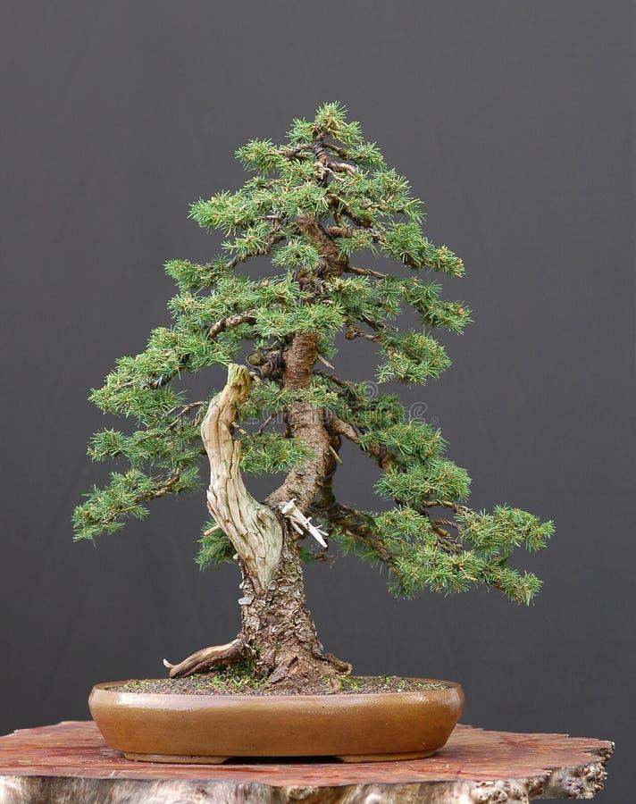 Nette bonsai stock foto