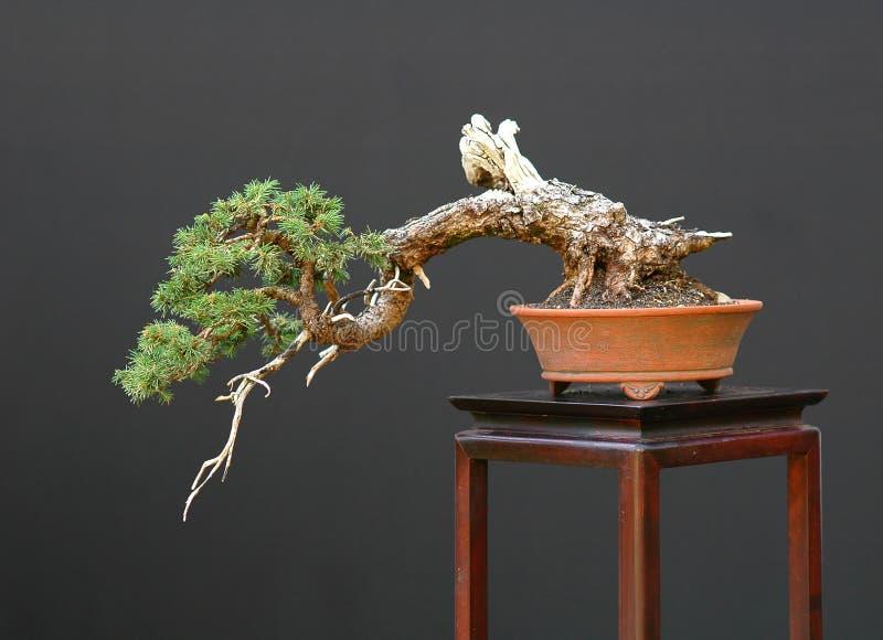 Nette bonsaicascade stock afbeelding
