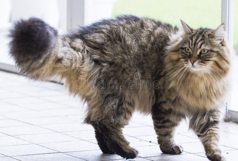 Nette braune gehende Katze, sibirisches reinrassiges männliches Haustier im Freien stockfotografie