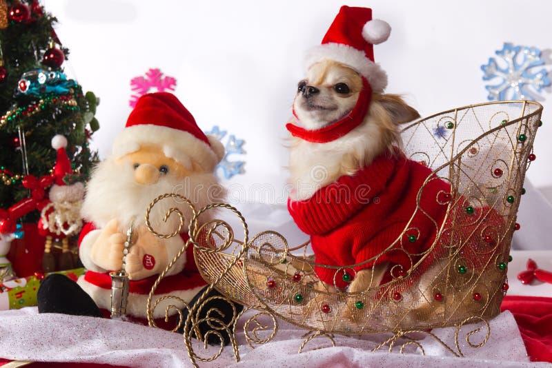 Nette Chihuahua gekleidet als Santa Claus stockbilder