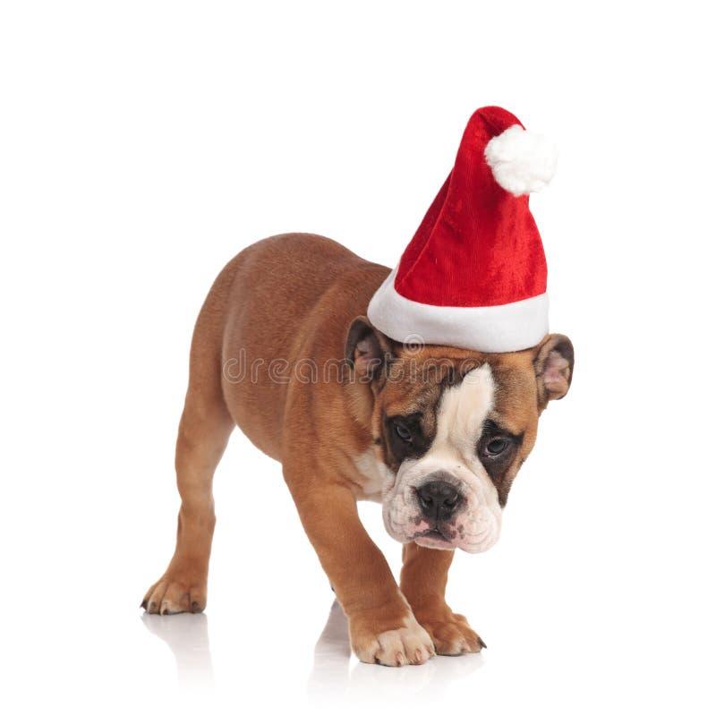 Nette englische Bulldogge Sankt hebt einen Geruch auf lizenzfreies stockfoto