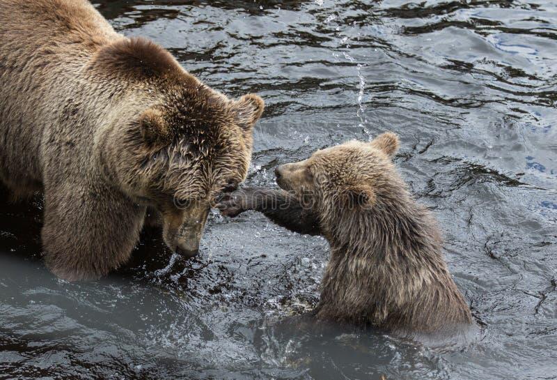 Nette Familie des Braunb?rmutterb?ren und sein Baby, das im dunklen Wasser spielt Ursus arctos beringianus Kamchatka-B?r lizenzfreie stockfotografie