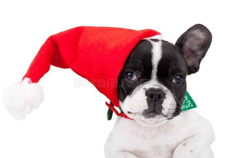 Nette französische Bulldogge, die eine Sankt-Schutzkappe trägt stockfoto