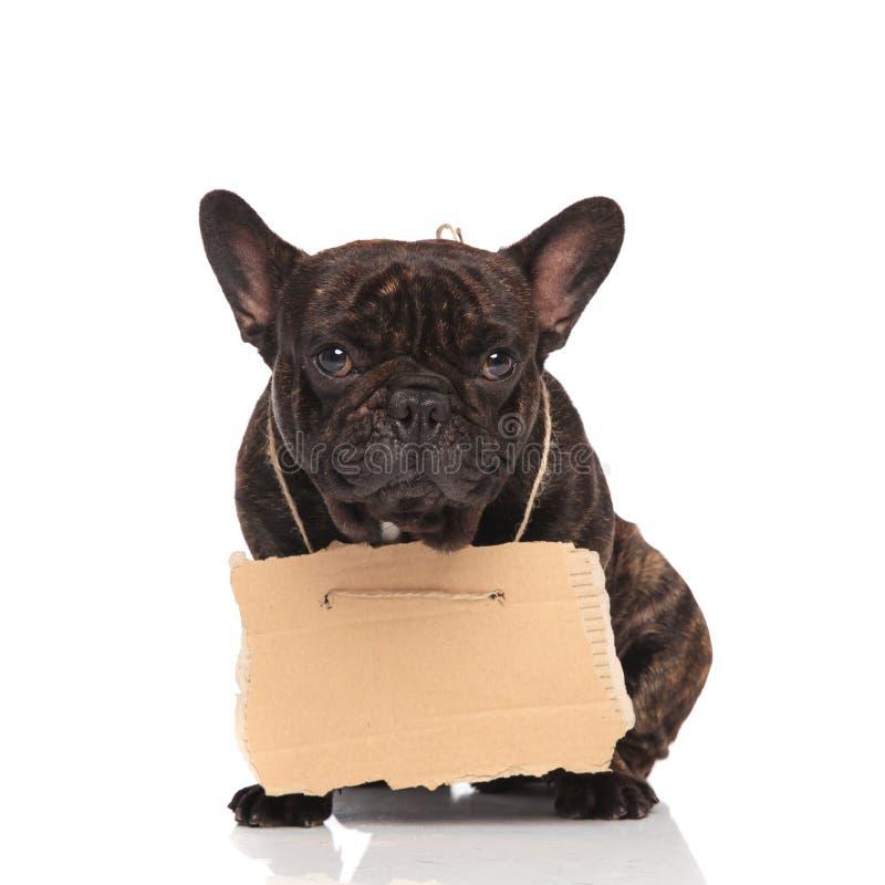 Nette französische Bulldogge, die leeres Anschlagtafelsitzen trägt stockfoto