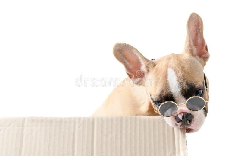 Nette französische Bulldogge, die sunglass zu tragen, die Papierkasten beißen, lokalisierte lizenzfreies stockbild