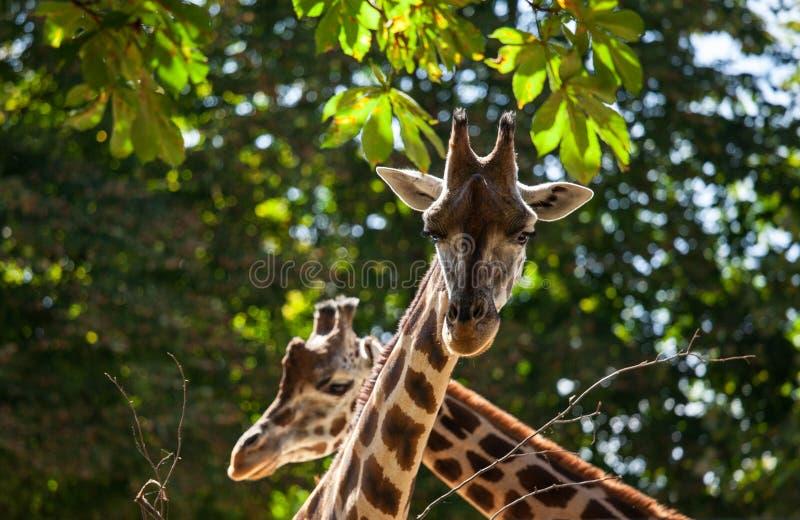 Nette Giraffen unter grünen Bäumen lizenzfreie stockfotos